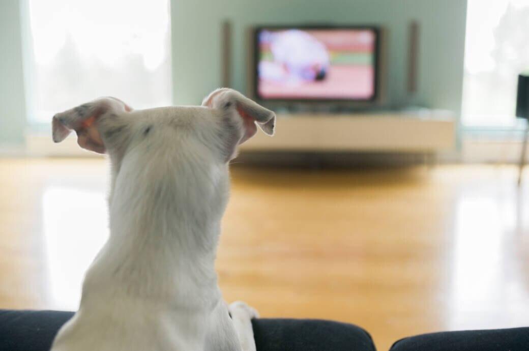 Fernsehen mit PlayStation4: Hund schaut auf einen eingeschalteten Fernseher